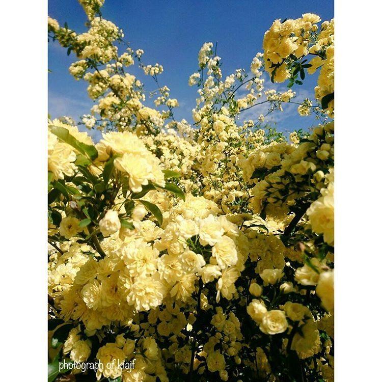 #調布 #神代植物園 #バラ #薔薇 #ばら #花 #ザ花部 #自然  #rose #flowers #flower #nature #flowerstagram #flowerslovers #flower_yellow #rose  #insta_flower_lovers #instaflower #instarose http://gelinshop.com/ipost/1515601644377028843/?code=BUIf6piFzjr