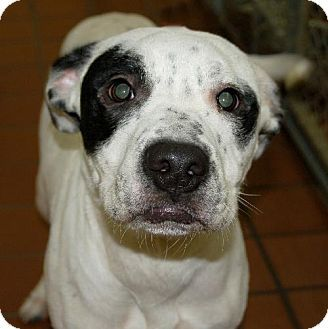 Waynesville, NC Dalmatian/Boxer Mix. Meet Lucas, a puppy