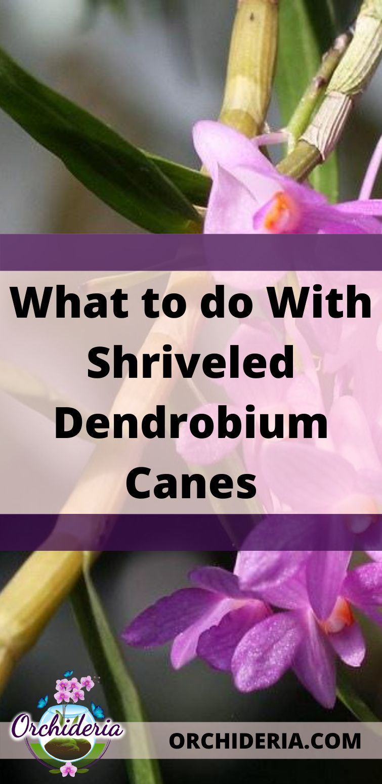 Dendrobium Shriveled Canes 5 Probable Reasons Orchideria In 2020 Orchids In Water Orchid Show New Roots