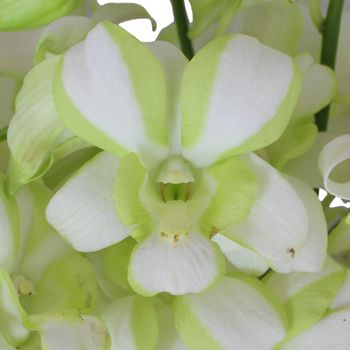 White And Green Striped Dendrobium Orchids Fiftyflowers Dendrobium Orchids Orchids Orchids Online