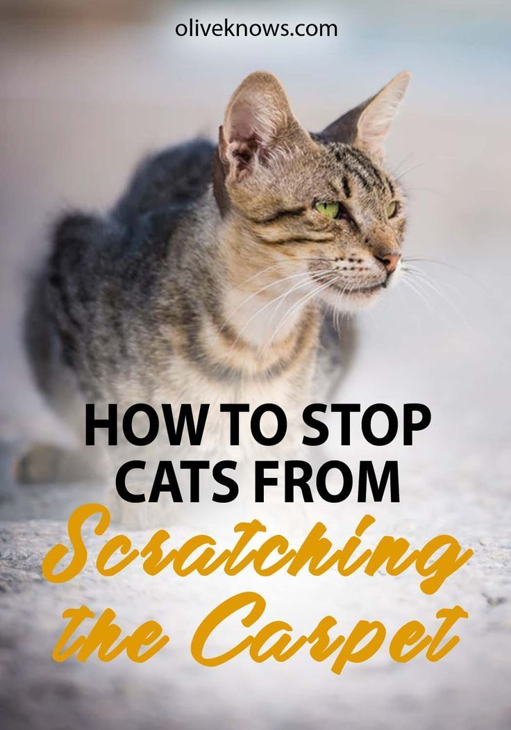 How to Stop Cats from Scratching the Carpet Cats, Cat