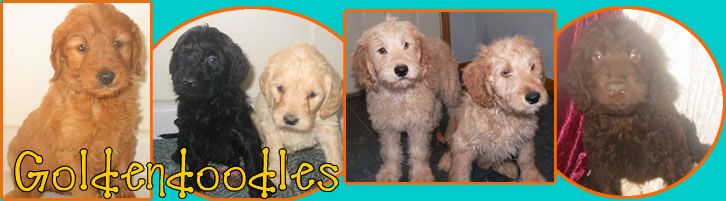 Goldendoodle Dogs Cute Goldendoodle Puppy For Sale
