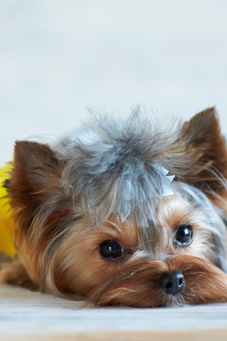 Yorkshire Terrier And Flowers A Dog On A Light Background Yorkshireterrier