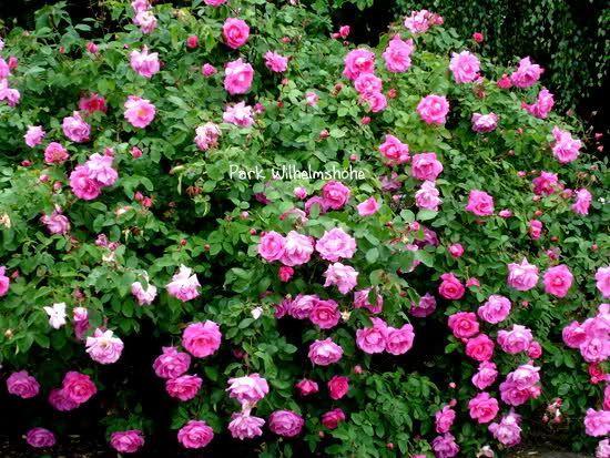 parkrosen - seite 2 - rund um die rose - mein schöner garten
