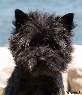 Quarrydene Cairn Terriers Cairn Terrier Terrier Breeds Terrier