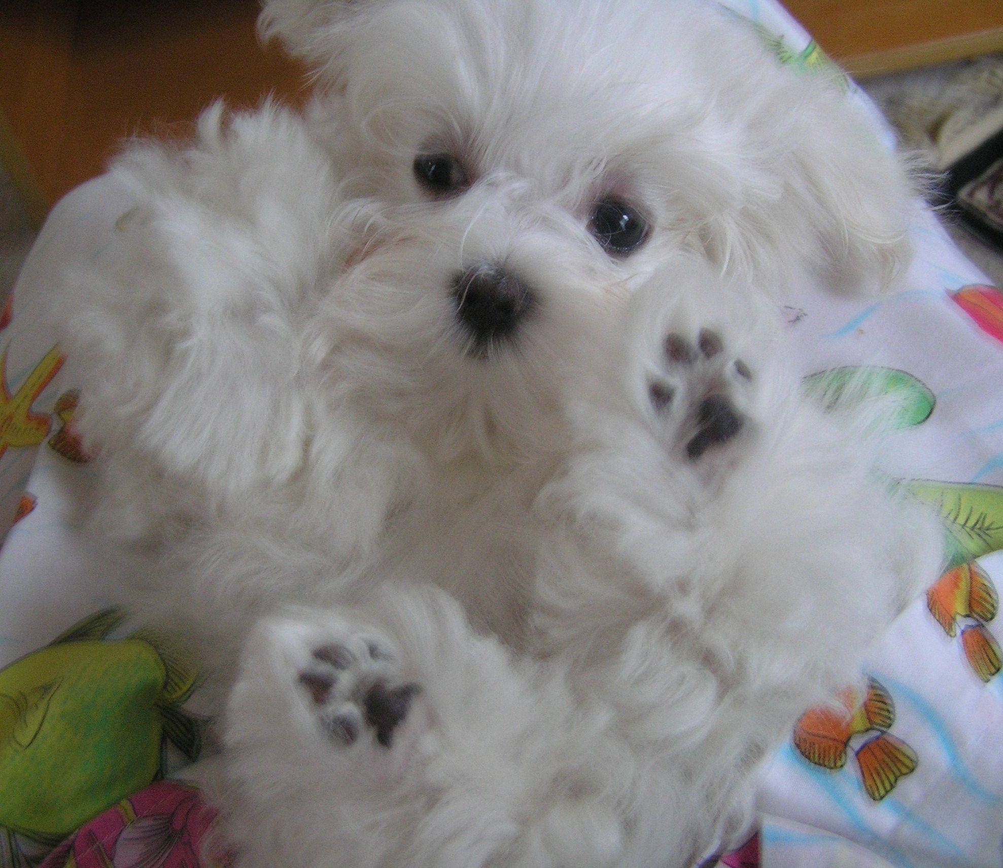 Maltese Pups Maltese Puppy Maltese Dogs Teacup Puppies Maltese