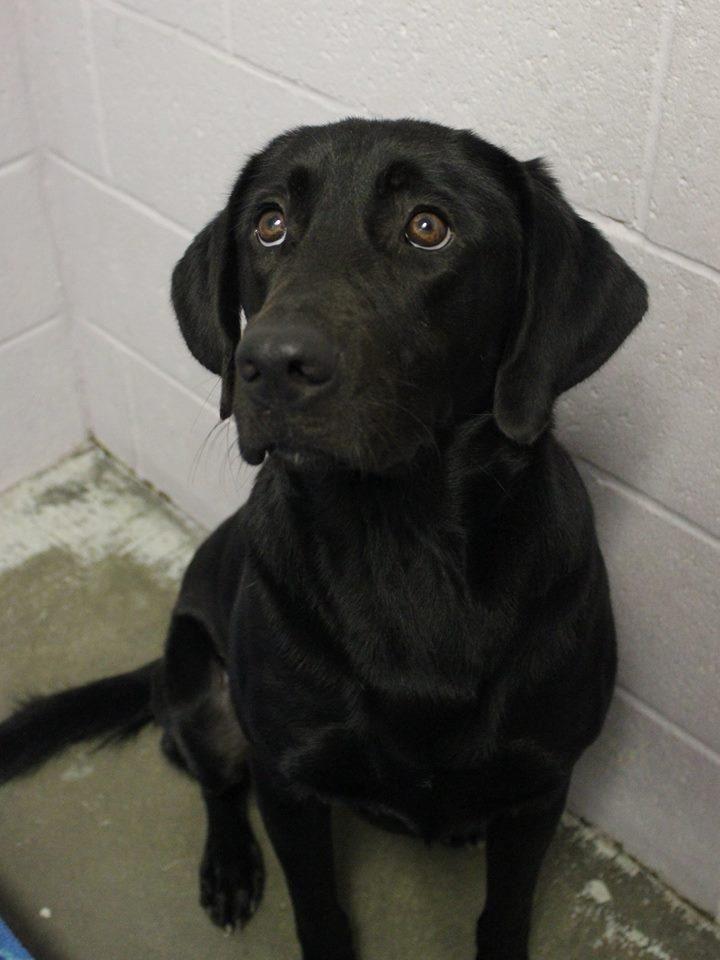 Adopt dux on petfinder black labrador retriever