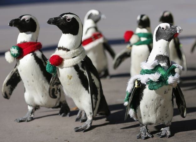 Penguins dressed up in Christmas outfits. As if they couldn't get cuter! - Some Penguins Dressed Up In Christmas Outfits Kins Pinterest