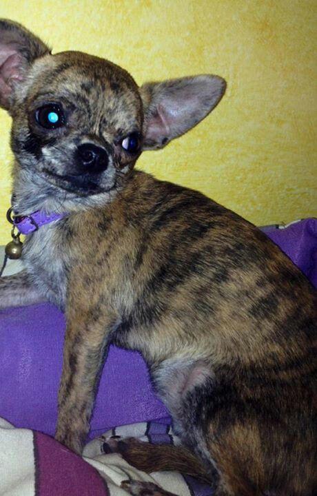 Chihuahua Chihuahua Love Cutest Dog Ever Chihuahua Funny