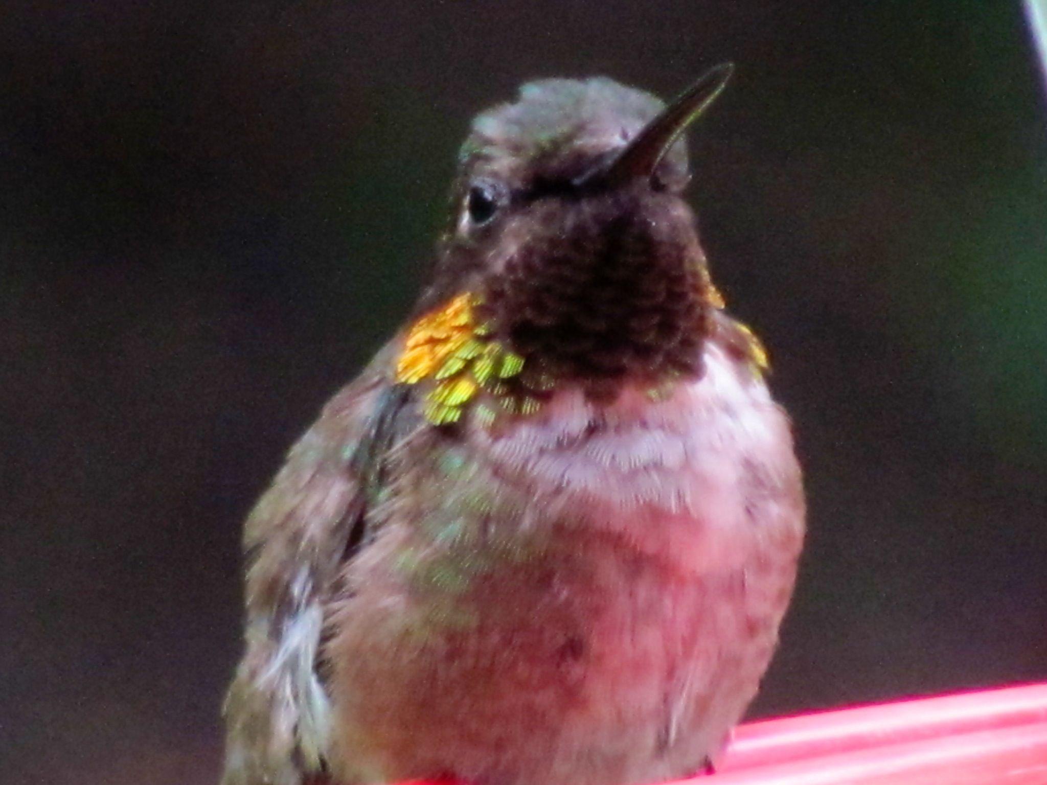 Baby ruby throated hummingbird Beautiful birds Pinterest