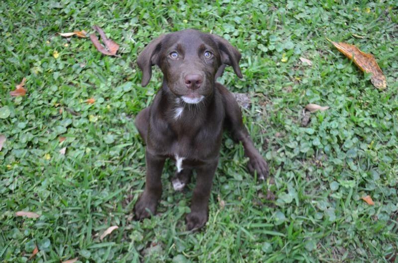 Adopt Crystal On Petfinder Labrador Retriever Labrador Retriever Dog Border Collie Dog