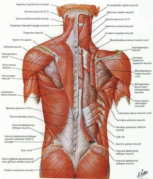 how to strengthen lower back muscles melody schoenfeld-- not yer, Human Body