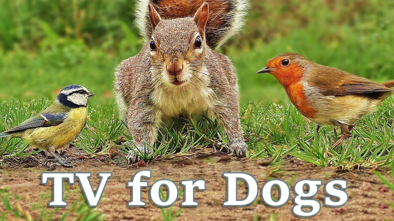 Tv For Dogs Videos For Dogs Birds And Squirrels Everywhere