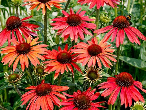 Echinacea Purpurea Hot Summer Google Search Blumen Stauden