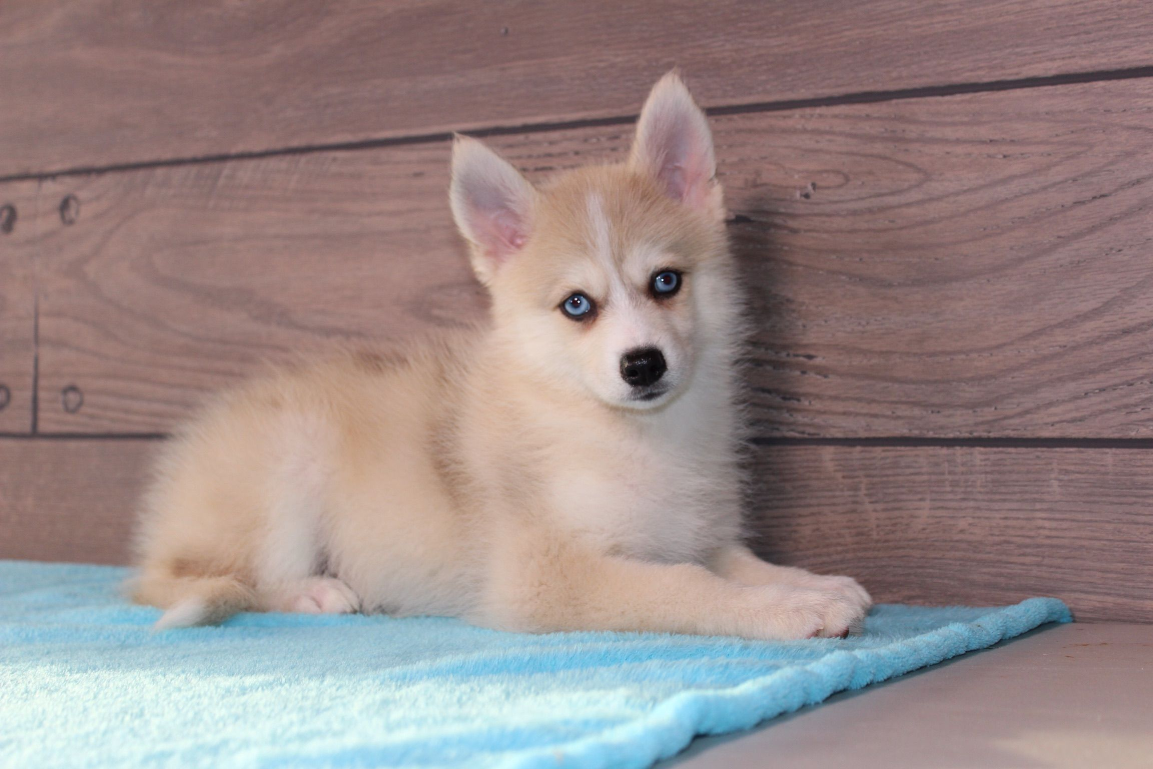 Cody Male Puppy Pomsky For Sale In Nappanee Indiana Puppies Puppy Adoption Pomsky Puppies