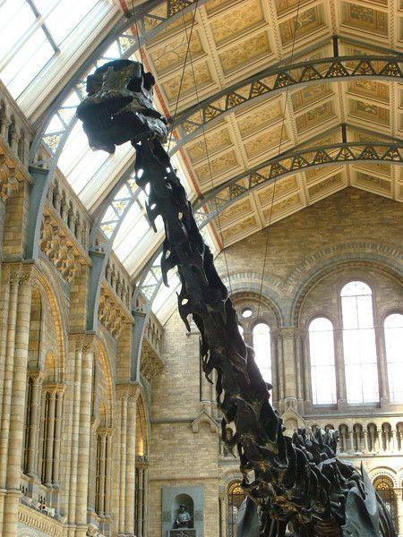 brontosaurus      dinosaur      fossil      london      natural history museum      skeleton