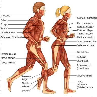 anatomy of the human body muscles - google search | fitness, Muscles