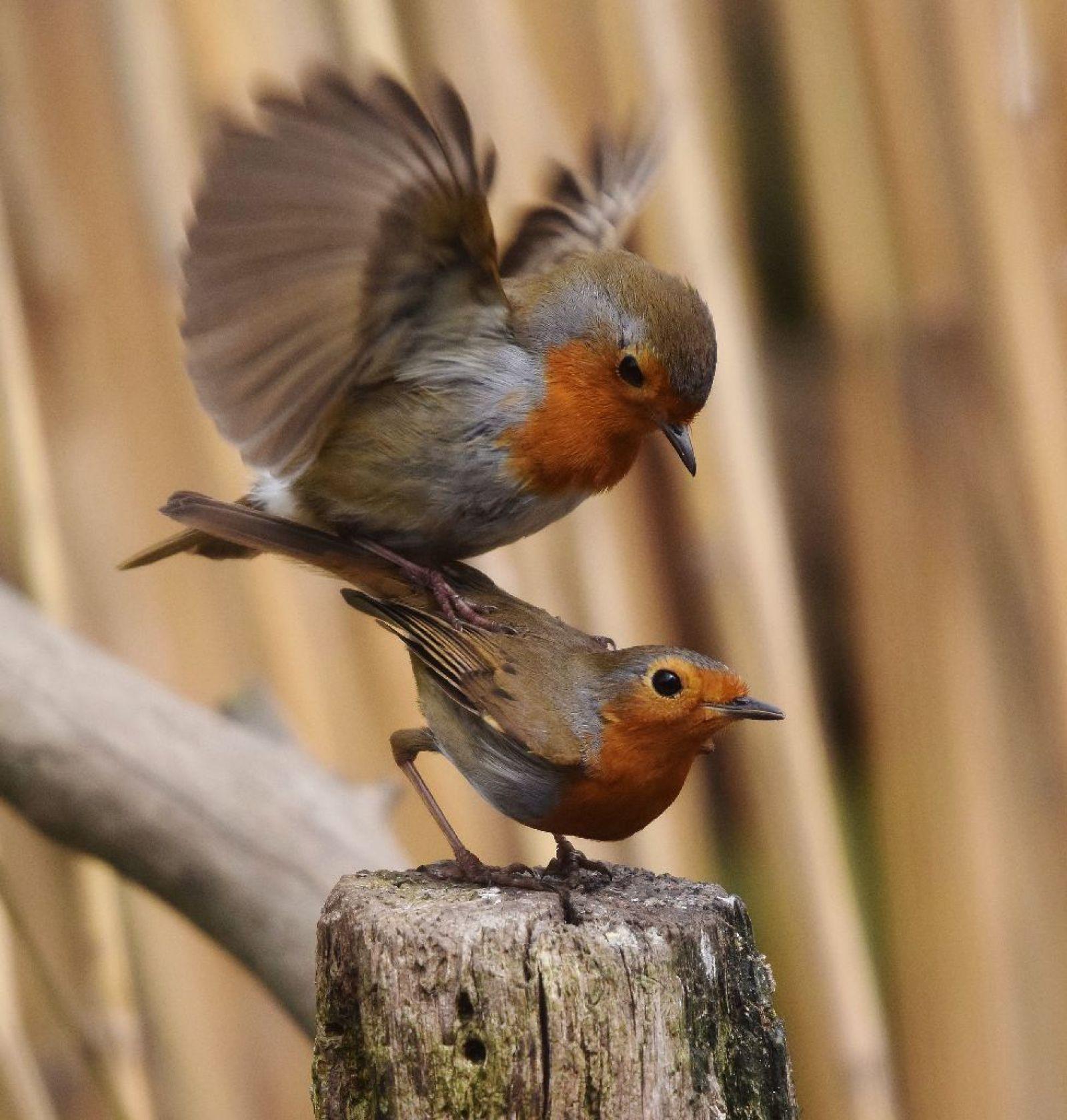 Зарянка фото птицы самец и самка