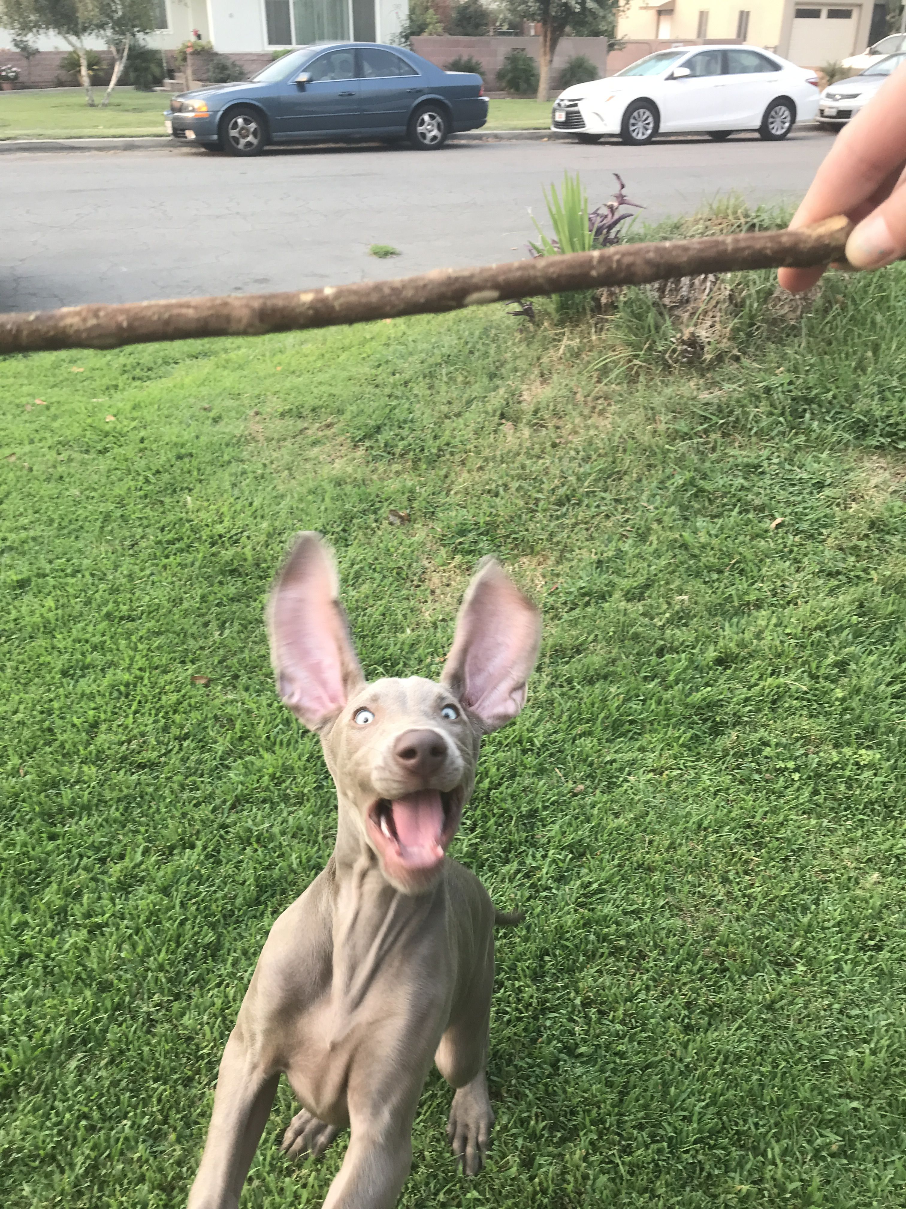 Flying Weimaraner Puppy