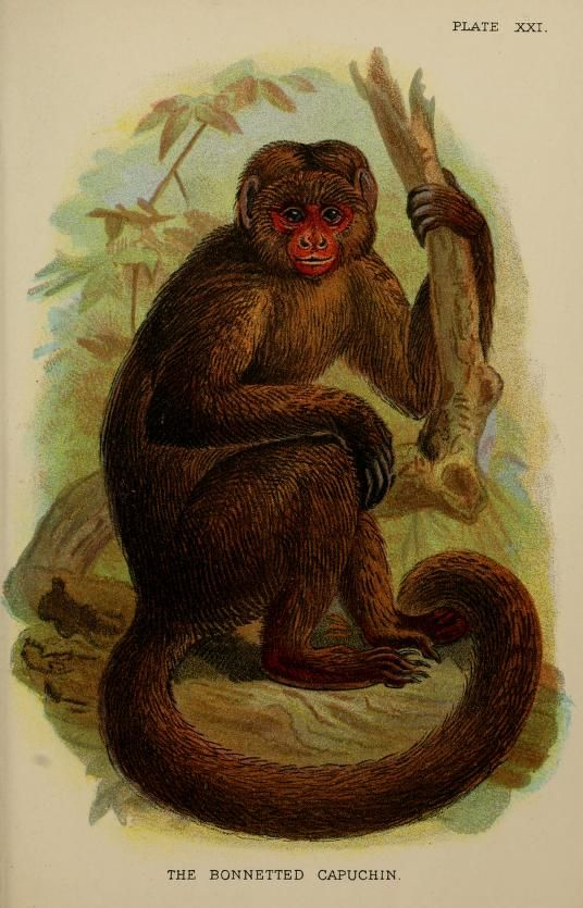 A hand-book to the primates. V.1 - 1896