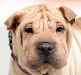 Adopt Bonnie On Shar Pei Dog Chinese Shar Pei Dog Baby Pugs