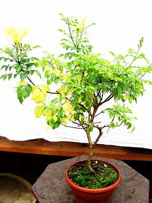Electronics Cars Fashion Collectibles Coupons And More Bonsai Plants Walnut Tree