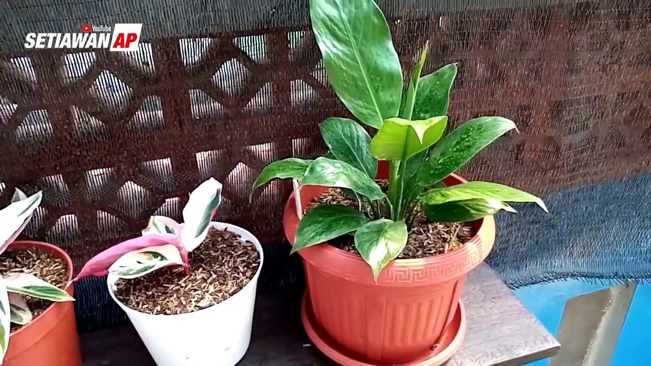 Mengenal Tanaman Hias Peace Lily Atau Lili Perdamaian Atau Spathiphyllum Lili Tanaman Perhiasan
