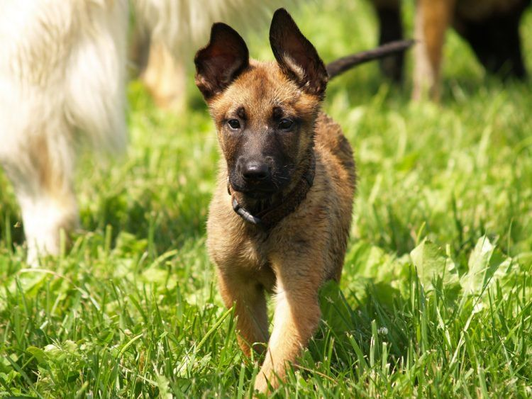 Belgian Malinois Breed Guide Malinois