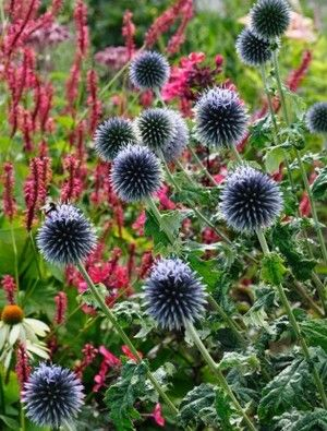 Echinops ritro fleures et plantes pinterest blue flowers perfectly round balls of small mid blue flowers sit on straight stems that pop up from a thick clump of long thistle type but not very prickly leaves mightylinksfo
