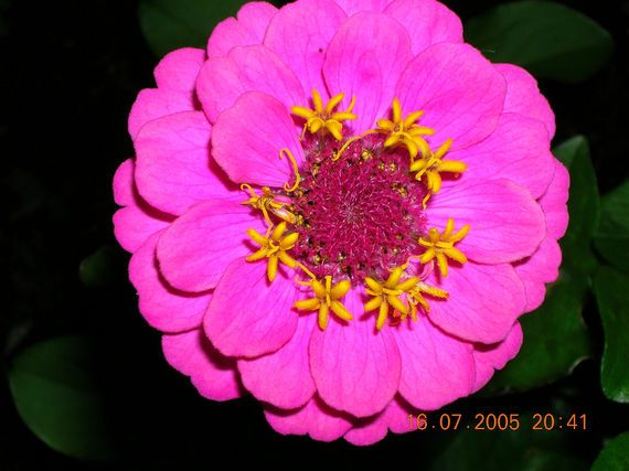 Zinnias: Attract Butterflies  How to Plant, Grow, and Care for Zinnia Flowers Old Farmers Almanac