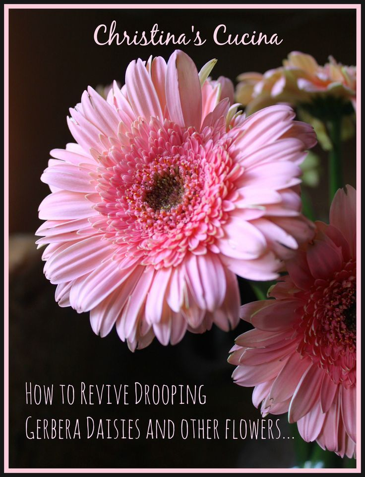 How to revive drooping gerbera daisies (with one pin