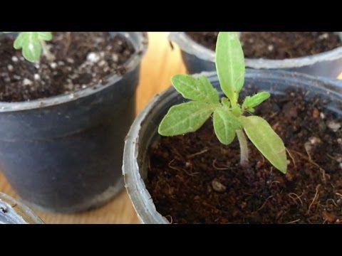 ازرع فى بلكونتك الحلقه التالته زراعة الطماطم و الرعايه Plants Garden