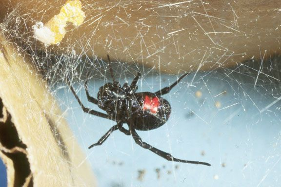 1/2c vinegar, 1/2 c water, 1tbs dish soap + 10 drops of tea tree oil, makes an effective spider spray