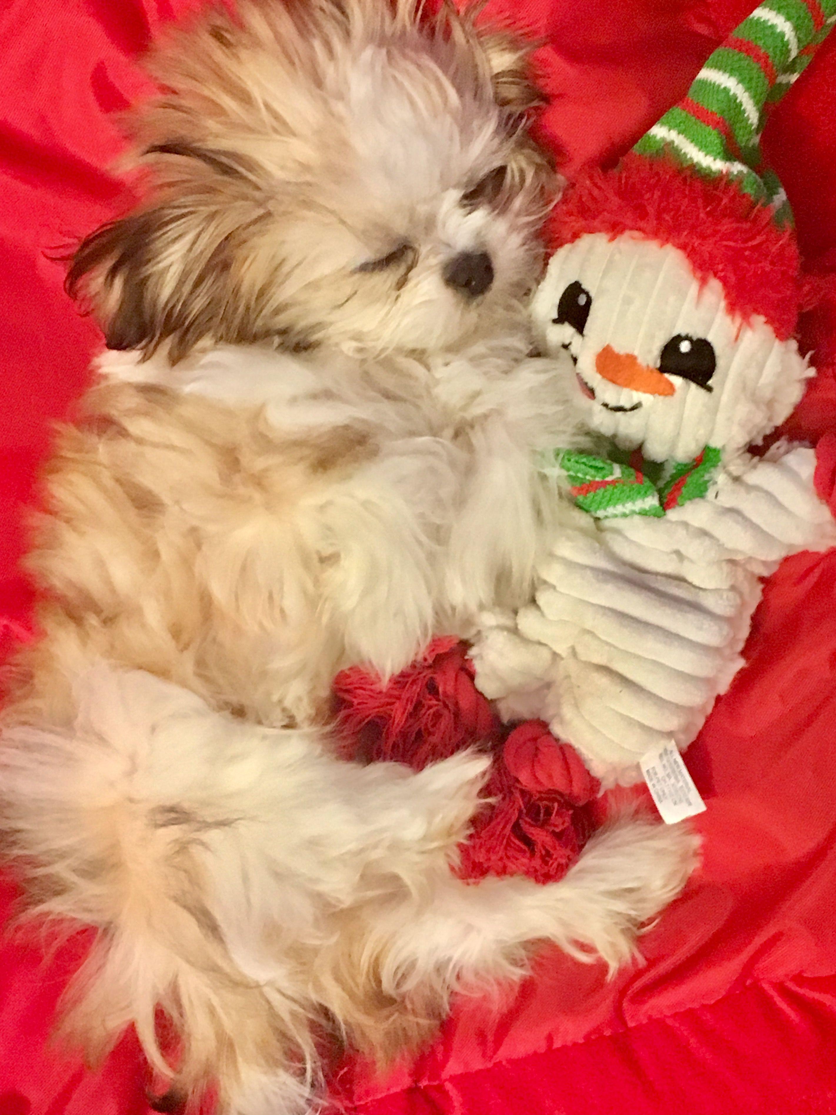 Pin By Paula Nolan On Sleeping Puppies Shih Tzu Cute Dogs Cute