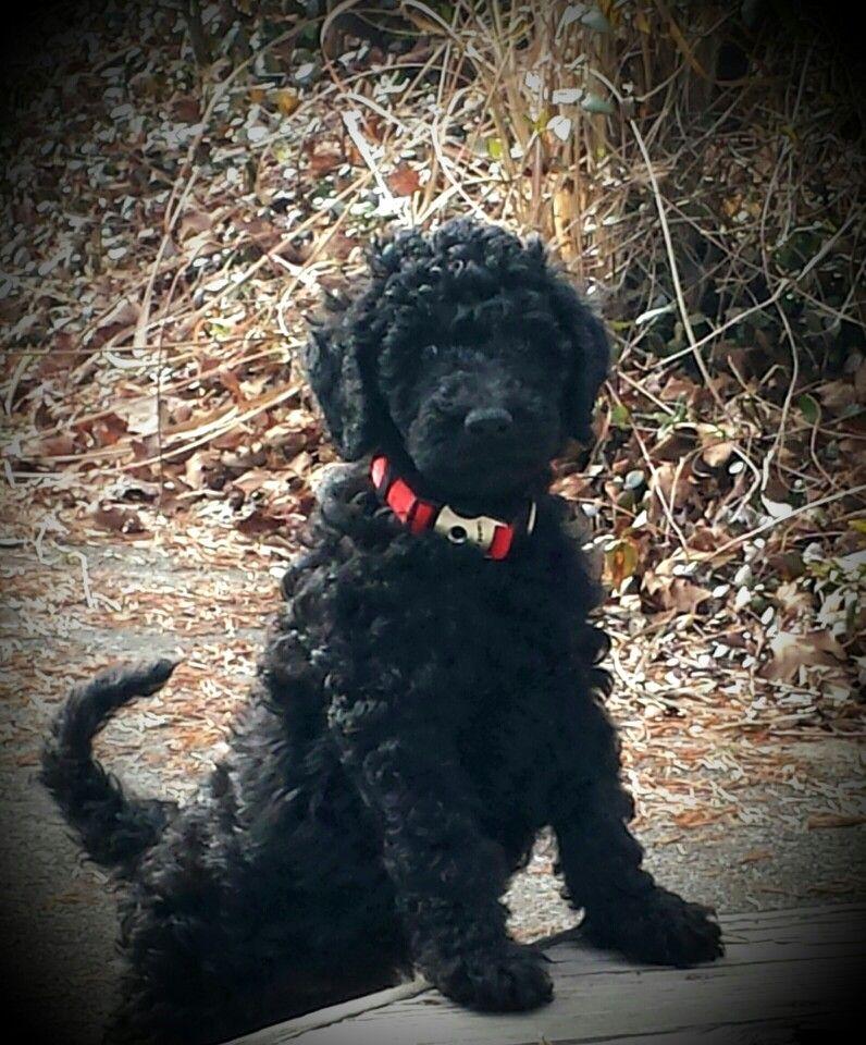 Black Standard Poodle Maximus 8 Weeks Old Poodle Puppy Poodle