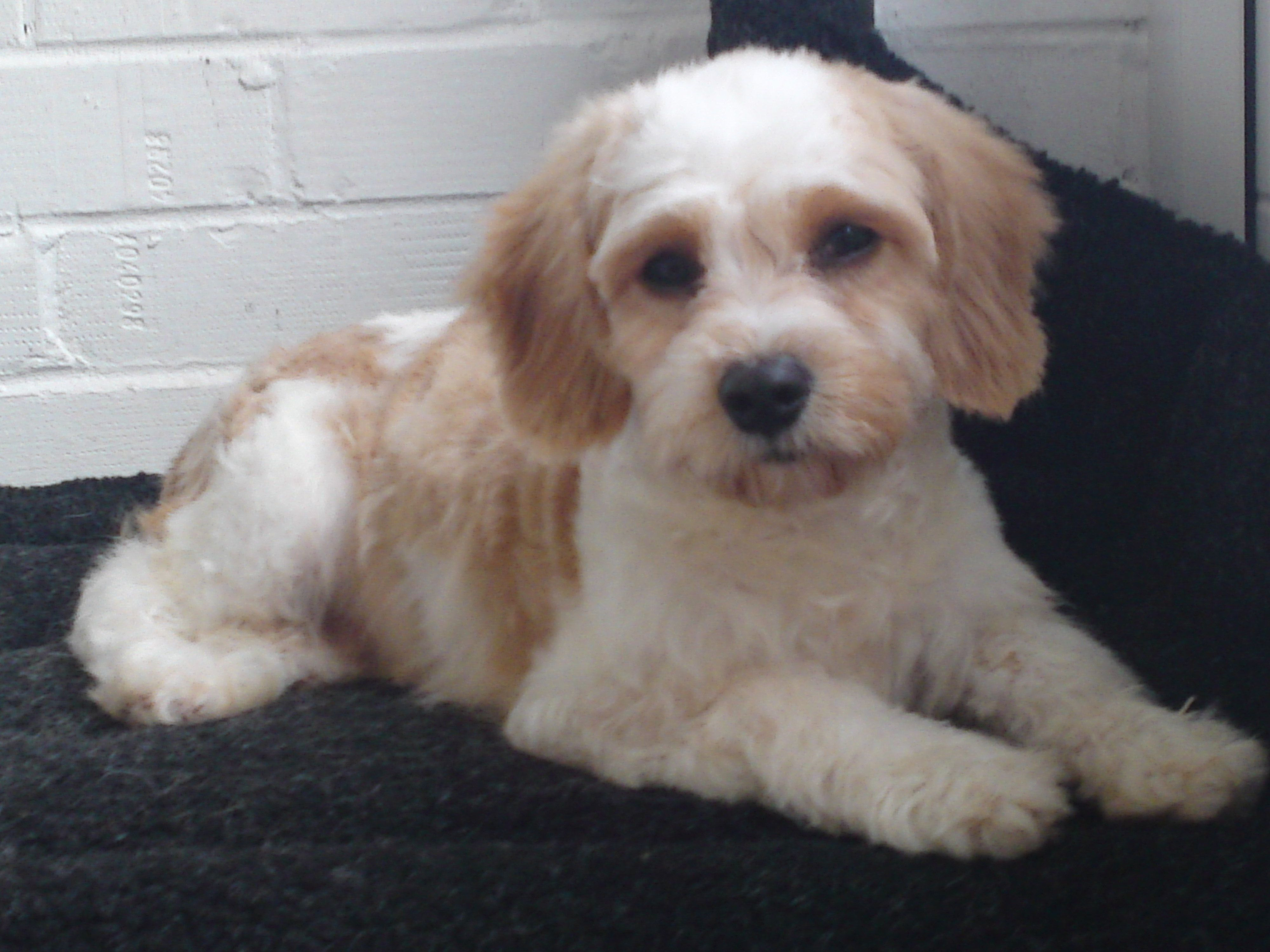 Cavachon Grooming Google Search Cavachon Cavachon Puppies Cavachon Dog