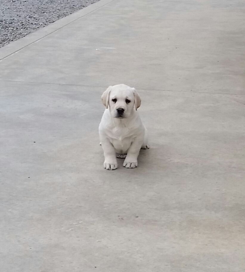 Brode A Yellow Labrador Retriever Puppy For Sale In Woodburn