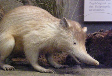 Hewan Langka Di Dunia Solenedon Animals Pinterest Mammals