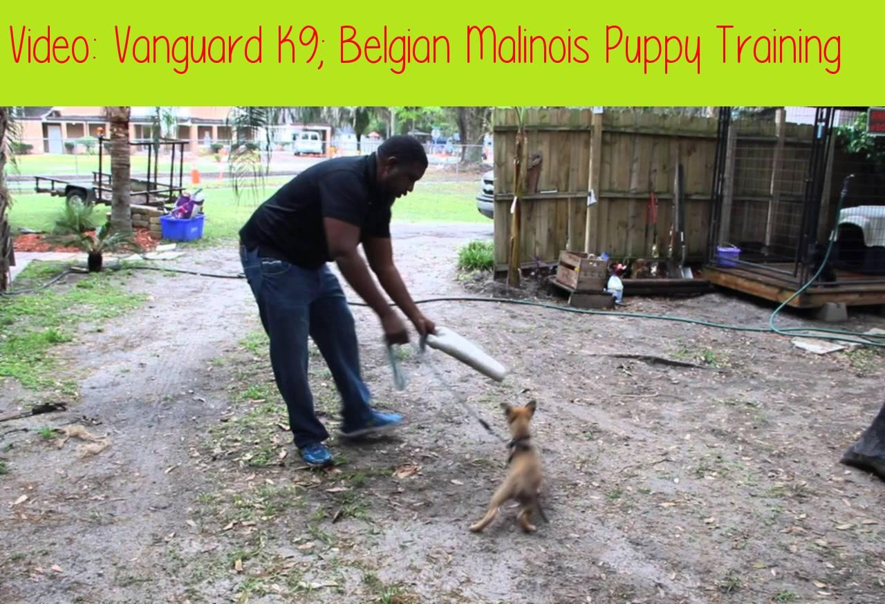 Vanguard K9 Belgian Malinois Puppy Trainingthis Video Is About