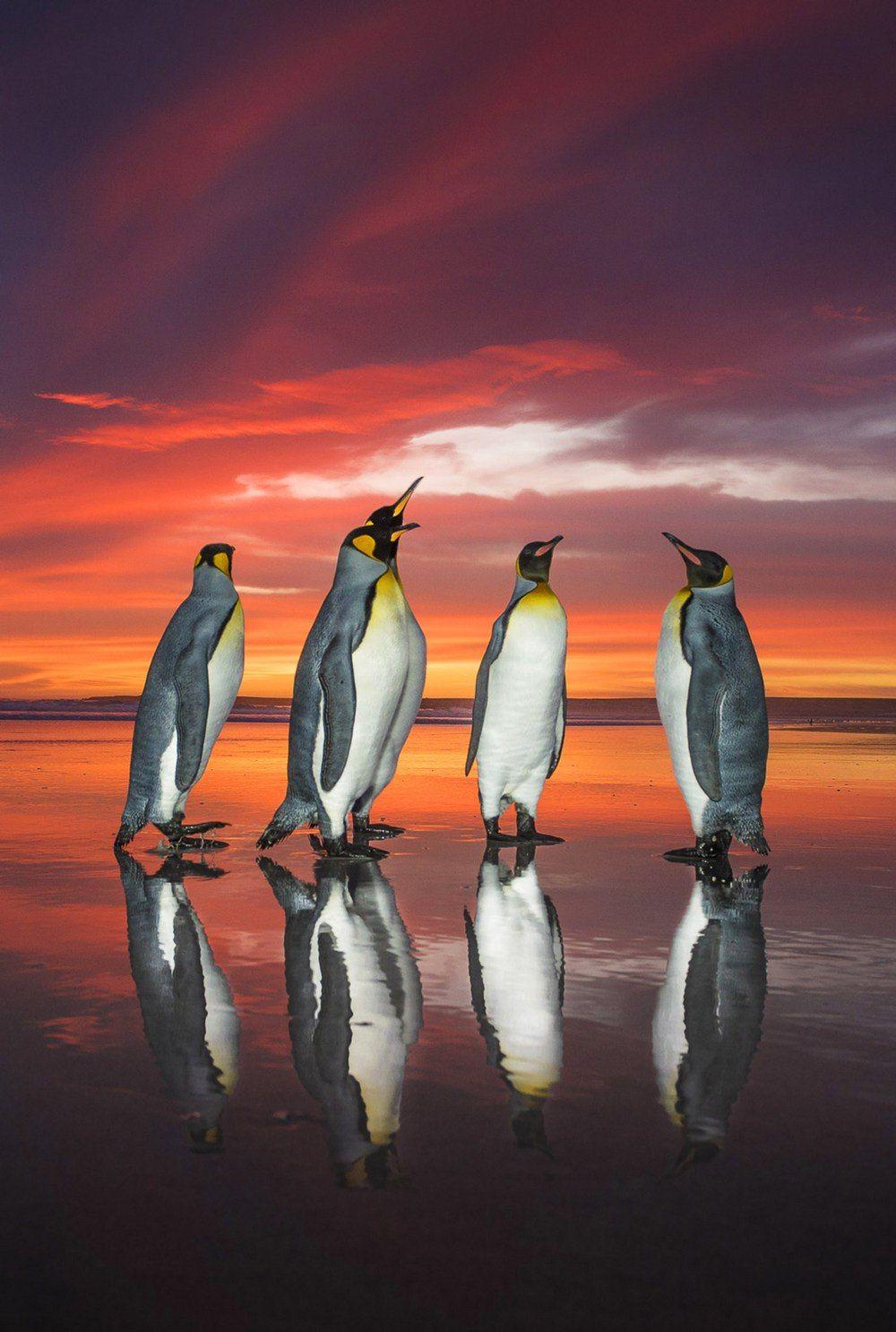Королевские пингвины на рассвете     45-летний фотограф дикой природы Вим ван ден Хивер (Wim van dan Heever) в этом году посетил Фолклендские острова, чтобы пофотографировать и разведать территорию для будущих туров.