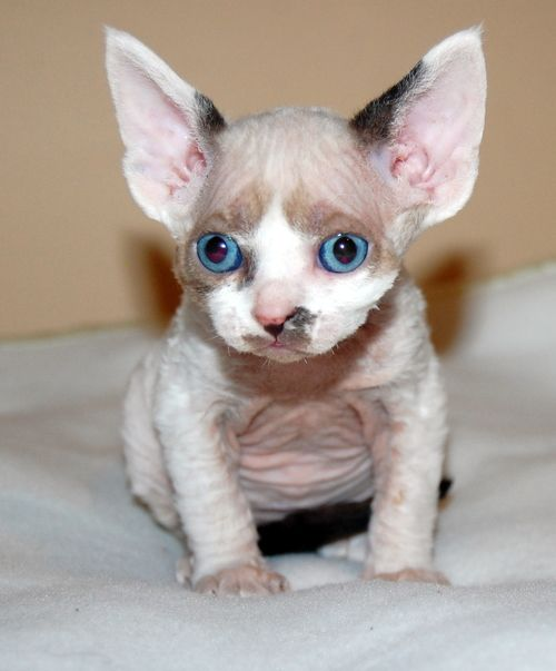 Devon Rex Kitten with blue eyes.jpg 500×603 pixels