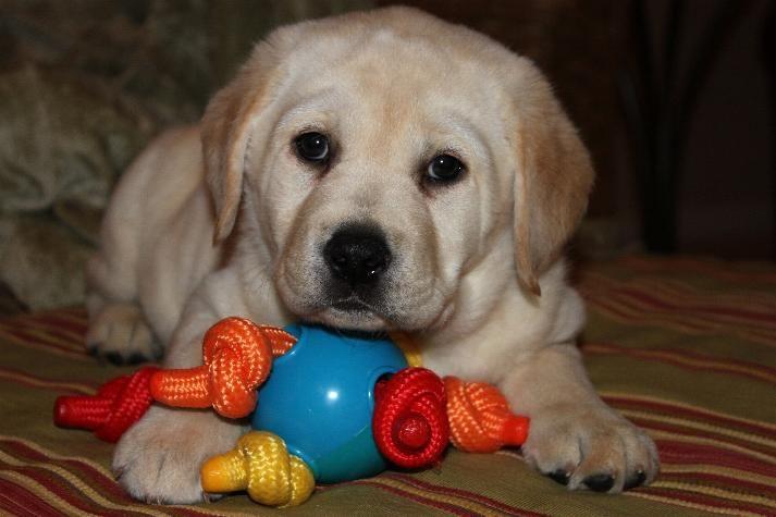 Kt Labradors English Lab Breeder English Lab Puppies English Lab English Labrador