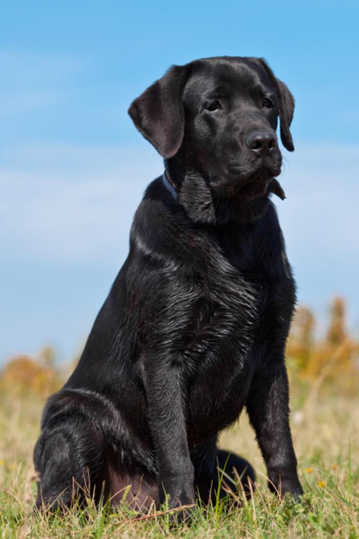 Black Labrador Retriever In Green Grass Labradorretriever Black Labrador Retriever Labrador Retriever Labrador Dog