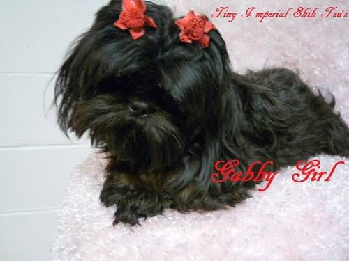 Only 1 Left Ckc Tiny Imperial Shih Tzu S Puppies With