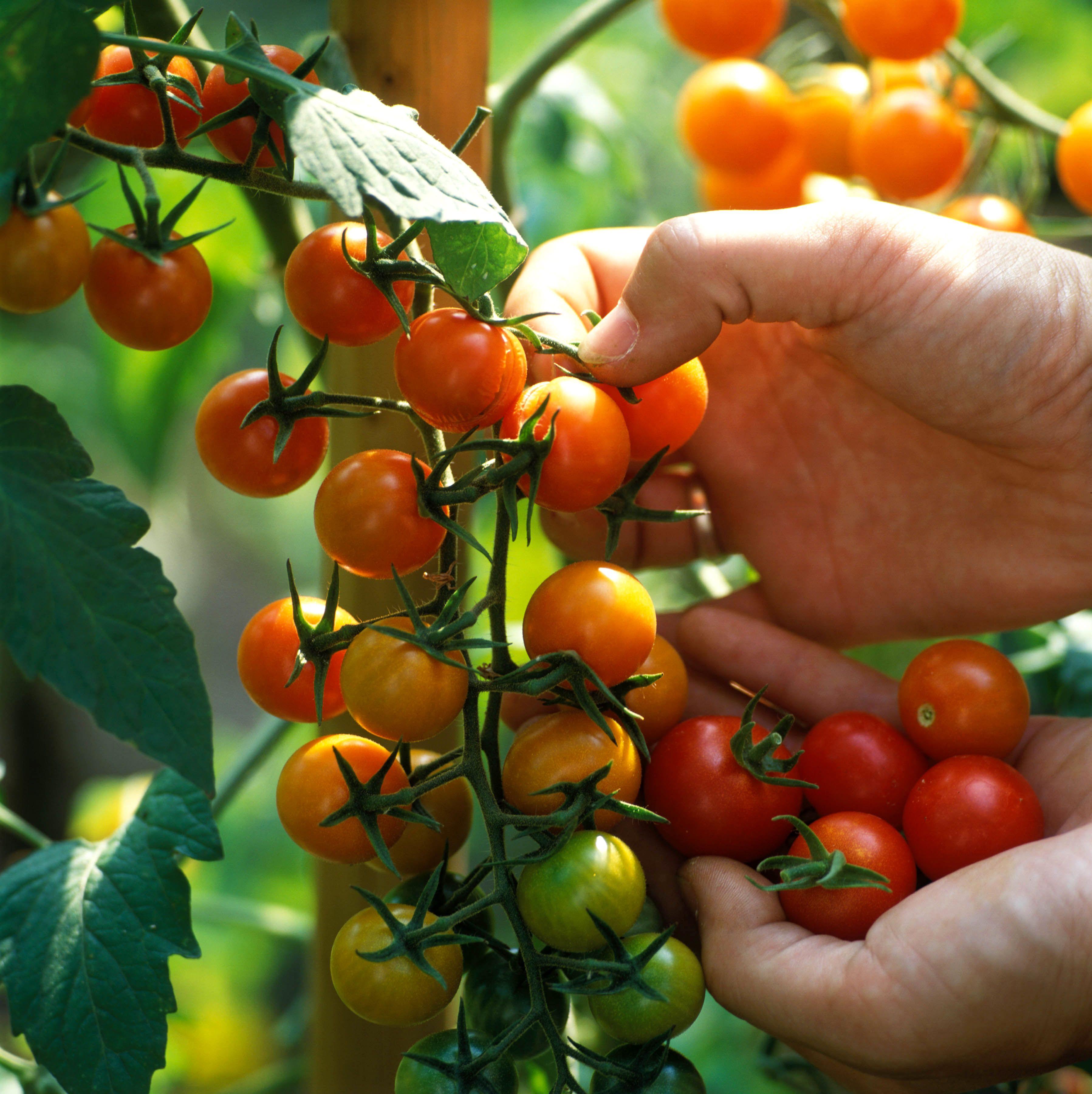 Les tomates cerise sont faciles à planter et à entretenir