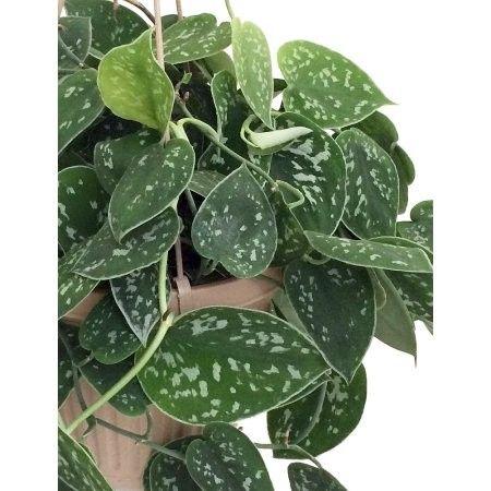 Silver Pothos Fertilizer For Plants Hanging Baskets 640 x 480