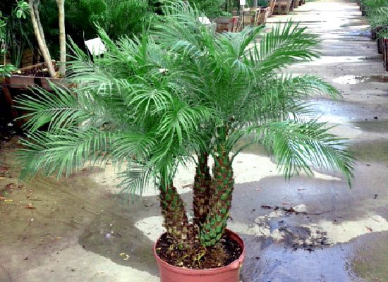 Pygmy Date Palm Small Front Yard Landscaping Trees For Front Yard Tropical Landscaping