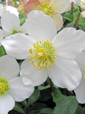 Helleborus niger Gold Collection® Jacob. Purchased at Merrifield Garden Center in December 2012.