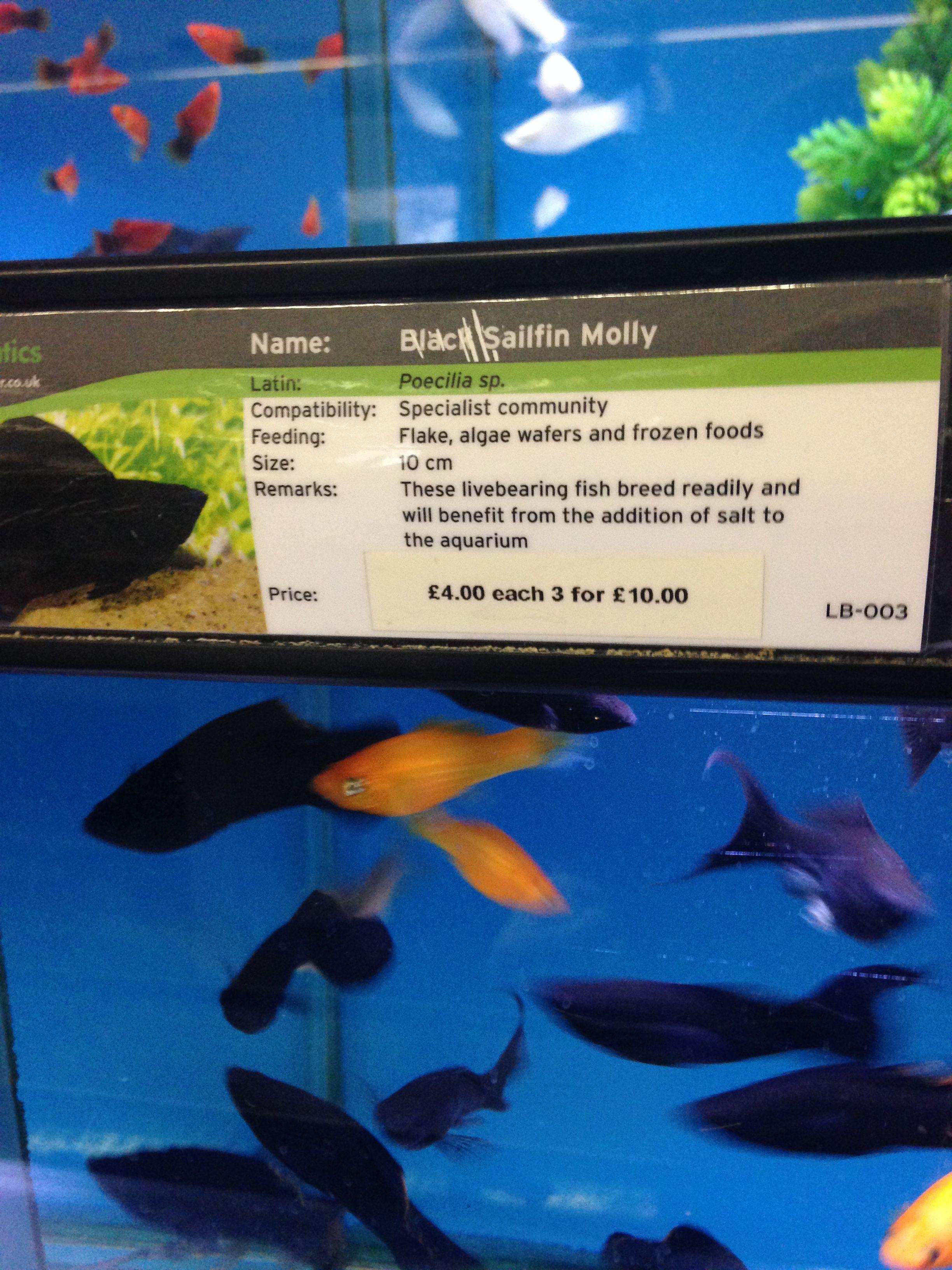 Black Sailfin Mollies Fish Breeding Beautiful Fish Fish Pet