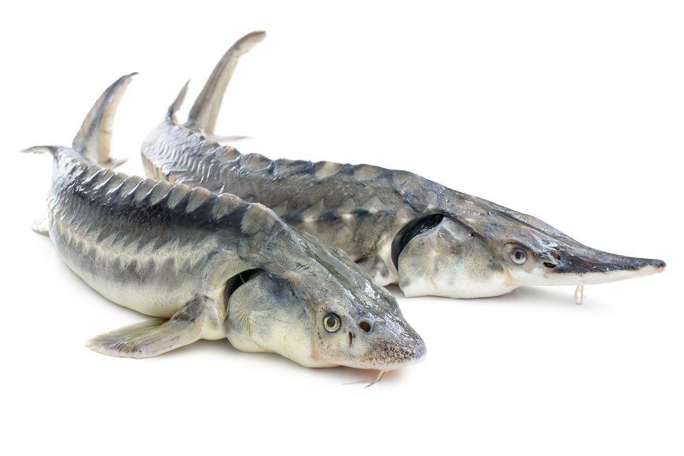 White Sturgeon Sturgeon Fish Fish Sturgeon